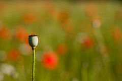 Lone poppy seed pod Stock Photography