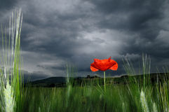 Lone poppy in stormy day. A lone poppy stands on a wheat field against stormy sky in early morning Stock Photos