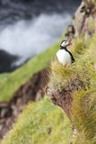 A lone puffin sits on the edge of a cliff next to the ocean Stock Images