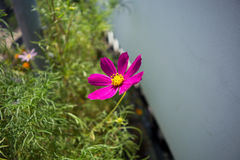 Lone purple flower in the bright sun. A lone purple flower in the bright sun, in the river port of Kazan Royalty Free Stock Image
