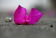 A Lone Purple Flower on a Pavement Royalty Free Stock Photography