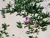 Lone purple flower in sand dune. Purple flower covered by beach sand dune Royalty Free Stock Photos