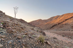 Lone Quiver Tree next to dry river bed Royalty Free Stock Photos