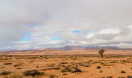 Lone Quiver Tree on the plain Royalty Free Stock Photos