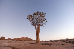 Lone Quiver Tree Royalty Free Stock Images