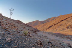Lone Quiver Tree in Richtersveld Royalty Free Stock Photo