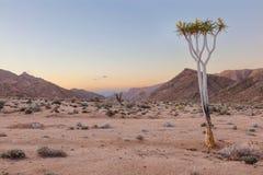 Lone Quiver Tree Stock Photo