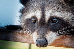 Lone raccoon looking into the camera very close. Portrait raccoon eyes closeup with reflection in the eyes of the photographer Royalty Free Stock Photography