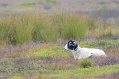 Lone ram on the Yorkshire moors Stock Photos