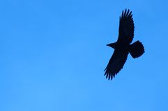 Lone Raven. Silhouette of a raven Stock Photos