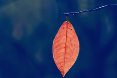 A lone red autumn leaf on a branch Royalty Free Stock Photography