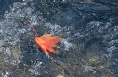 Lone red autumn maple leaf in current. A single red maple leaf caught in fast flowing current of a stream royalty free stock image