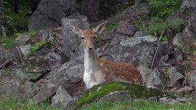 A lone red deer in the woods stock footage