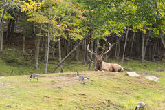 A lone red deer in the woods Royalty Free Stock Photos