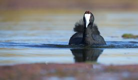 Lone Red Knobbed Coot swimming on a pond with perfect reflection stock image