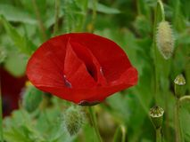Single red poppy on green background stock images