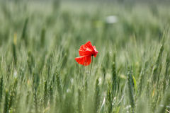 Lone red poppy in  field of wheat Royalty Free Stock Images