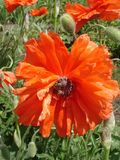 Lone red poppy flower with bee in a sunny day Stock Photos