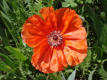 Lone red poppy flower in a sunny day.  Stock Photos
