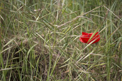 Lone Red poppy on green weeds Royalty Free Stock Image