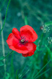 Lone Red poppy on green weeds field. Royalty Free Stock Photos