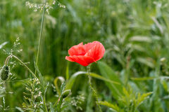 Lone Red poppy on green weeds Stock Images