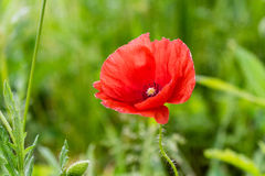 Lone Red poppy on green weeds Royalty Free Stock Photo