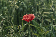 Lone Red poppy on green weeds Royalty Free Stock Photos