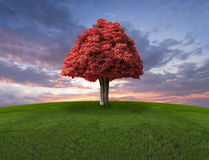Lone red tree on the field and sunset sky Stock Photography