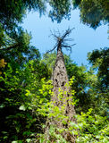 Lone redwood tree stretches up to the sky Royalty Free Stock Photo