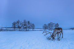 Free Lone Reindeer In Jukkasjarvi, Sweden Royalty Free Stock Photography - 71905877