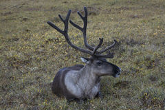 A lone reindeer lying on the tundra. Royalty Free Stock Photography
