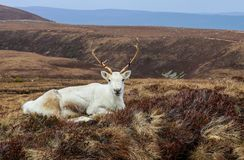 Lone Reindeer Rests in the Heather in the Cairngorm Mountains of. Reindeer Rests on the Heather Plain in the Cairngorm Mountains in Scotland UK Royalty Free Stock Photo
