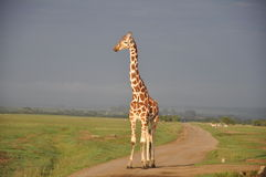 Lone Reticulated giraffe Royalty Free Stock Photography