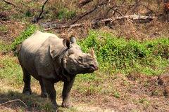 Lone Rhino out for a stroll. Rhino approaches from around the bend in chitwan national park Stock Photography