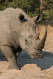 Lone rhino standing on open area looking for safety from poacher Royalty Free Stock Photo
