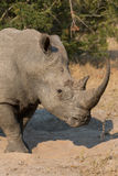Lone rhino standing on open area looking for safety from poacher Stock Image