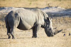 Lone rhino standing on open area looking for safety from poacher Stock Photo