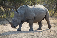 Lone rhino walking on open area looking for safety from poachers Royalty Free Stock Photos