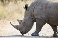 Lone rhino walking on open area looking for safety from poachers. Lone rhino walking on a open area looking for safety from poachers royalty free stock images