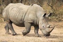 Lone rhino walking on open area looking for safety from poachers. Lone rhino walking on a open area looking for safety from poachers stock image