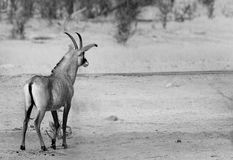 Lone Roan Antelope in black & white in Hwange royalty free stock images