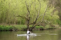 Lone rower and the dead tree. A lone rower on the River Aire at Hirst Wood passes an elaborately shaped dead tree standing out against the spring growth behind royalty free stock photo
