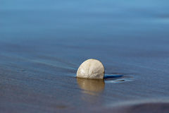 Lone sand dollar on beach. Lone sand dollar on wet sand beach background Stock Photo