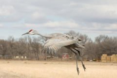 Lone Sandhill Crane in Flight. A lone Sandhill Crane prepares to land in a farm field in Central New Mexico. The Sandhill Crane (Grus canadensis) is one of the stock images