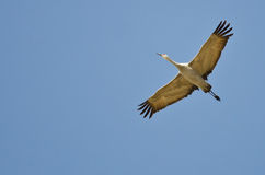 Lone Sandhill Crane Flying in a Blue Sky Stock Photos