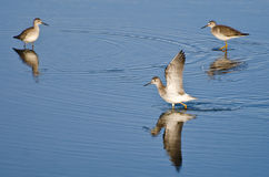 Lone Sandpiper Landing Among Friends Stock Photos