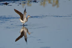 Lone Sandpiper Landing on the Water Royalty Free Stock Photography