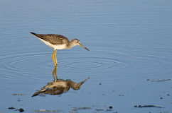 Lone Sandpiper in Shallow Water Royalty Free Stock Image