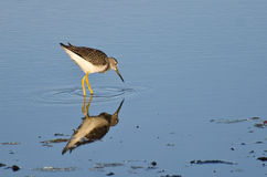 Lone Sandpiper in Shallow Water Royalty Free Stock Images